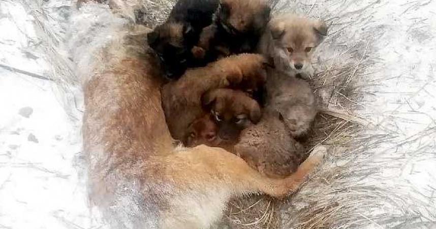 母愛偉大!牠以身體體溫保護7小狗 慘凍成冰冷屍體