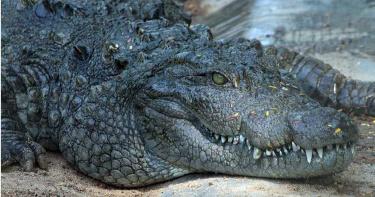 游泳遭2公尺長鱷魚攻擊 男徒手撬開利齒逃生