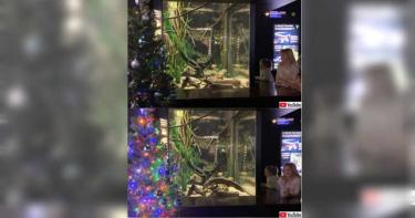 最省錢的聖誕裝飾 用電鰻讓燈泡閃爍