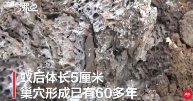 湖北驚見60多年巨大白蟻穴!蟻后長達5公分