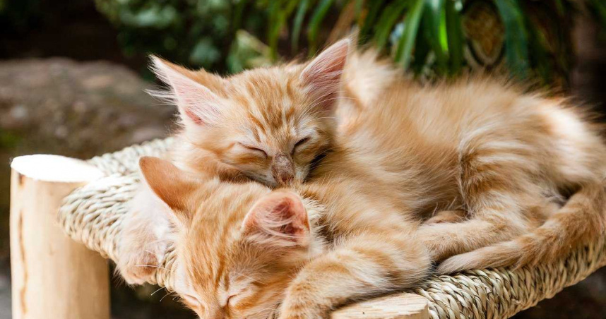 貓咪出生就有腎臟病…東京大學沒錢研究特效藥 全國貓奴2天捐3000萬