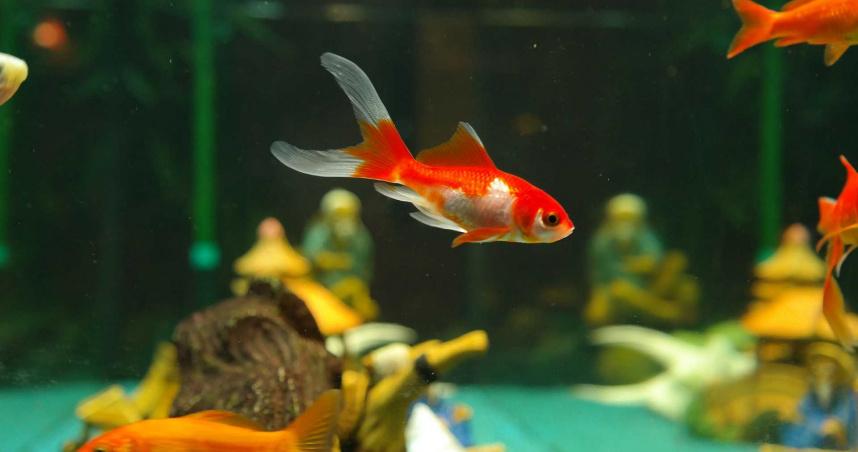 養魚收到新北動保處檢舉單「飼養管理不當」 網笑:你養到多莉?