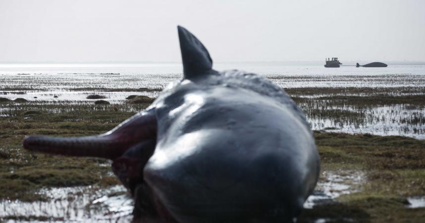 生態浩劫?10頭抹香鯨疑覓食空間迷向 擱淺英國海岸死亡