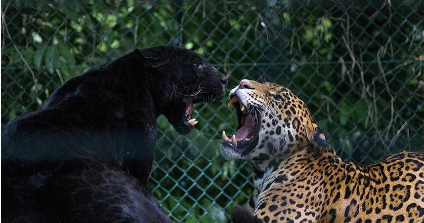 花4千元體驗!秒遭黑豹攻擊「咬下右耳」…男頭皮掀起一大片