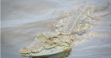 河道浮屍被拖入水底差成鱷魚美食 巴西消防員急打撈!幸大部分完整