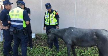 馬匹街上遊蕩 警察充當馬伕照顧