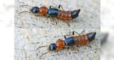 日本昆蟲愛好者揭「隱翅蟲」名字由來!20秒近距離「收納畫面」曝光