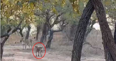 浪汪凶狠對戰「森林之王」竟全身而退 網友:還好母獅肚子不餓